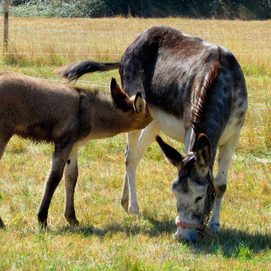 consultas-burro