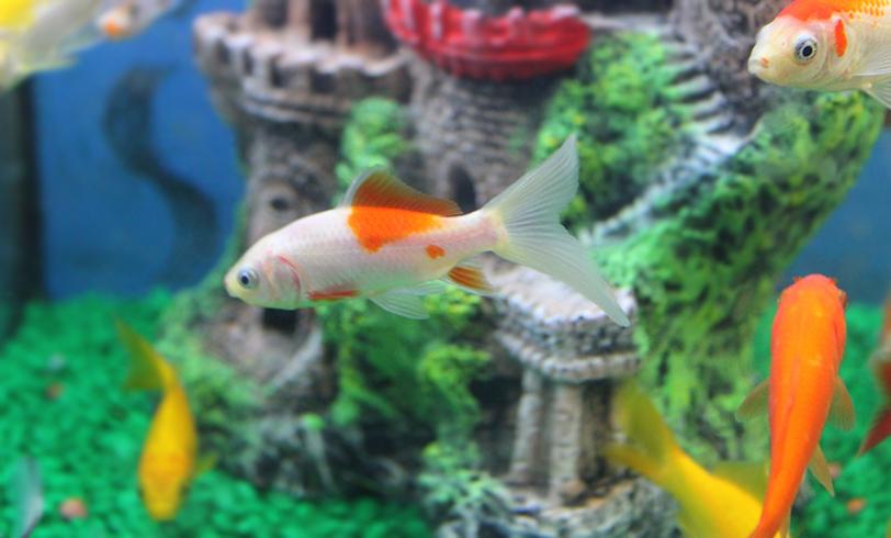 Cl nica veterinaria bierzoo enfermedades en peces de acuario for Peces artificiales para acuarios
