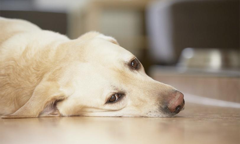 Vómitos en perros
