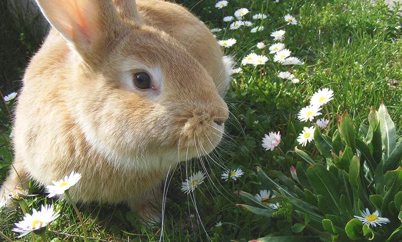 La mixomatosis de los conejos