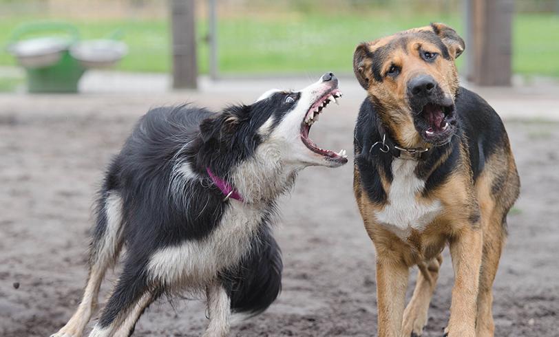 Cómo evitar las peleas entre perros