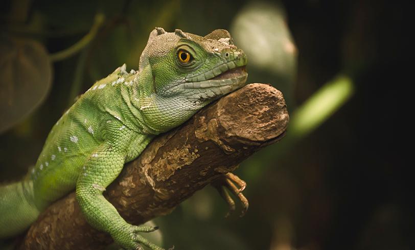 El cuidado de las iguanas