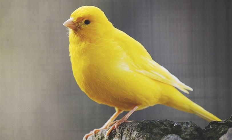 Por qué dejan de cantar los canarios