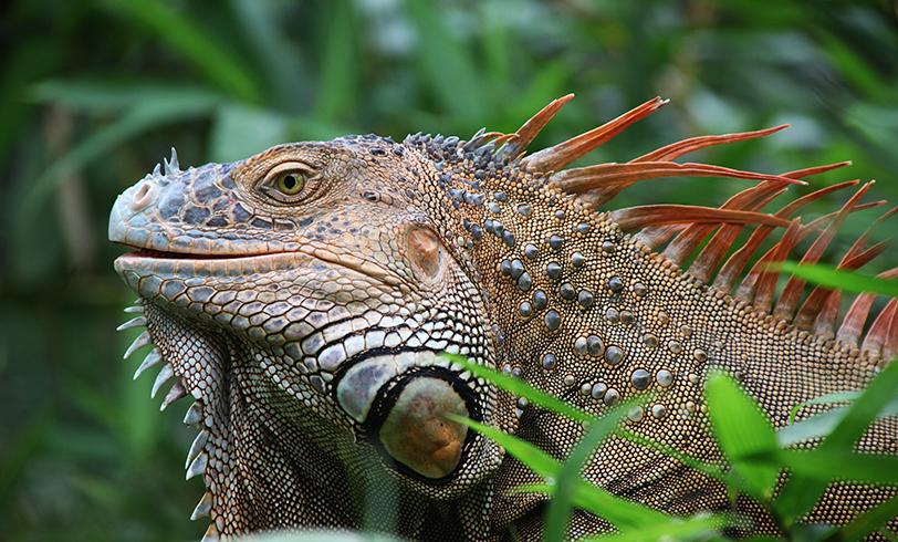 Una iguana como mascota
