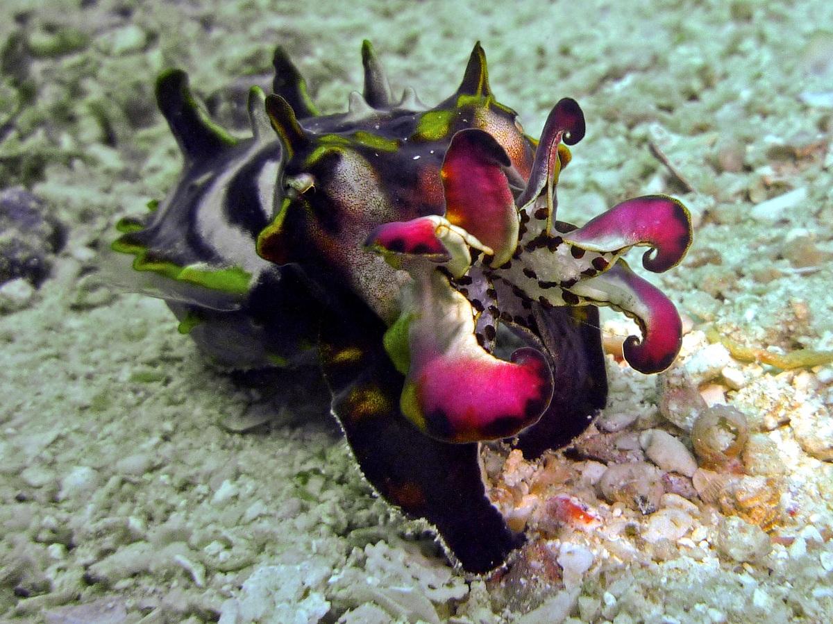 ¿Una sepia o un pequeño hipopótamo subacuático?